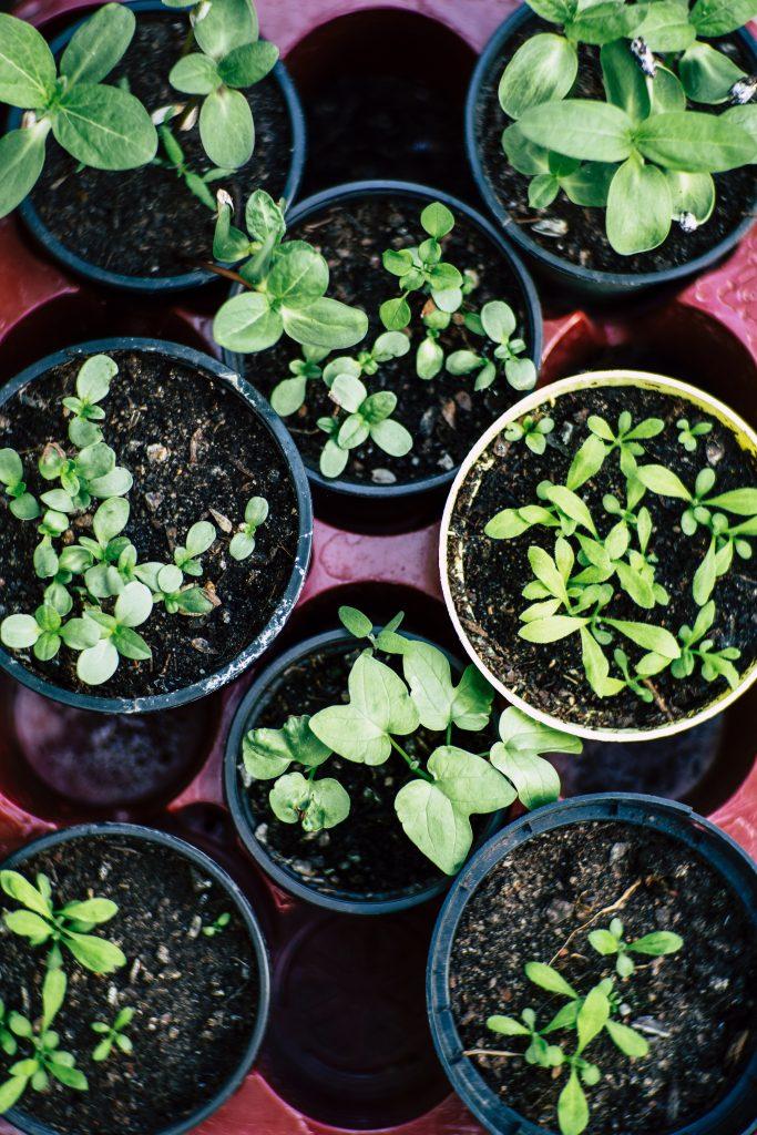 Pots of herb seedlings