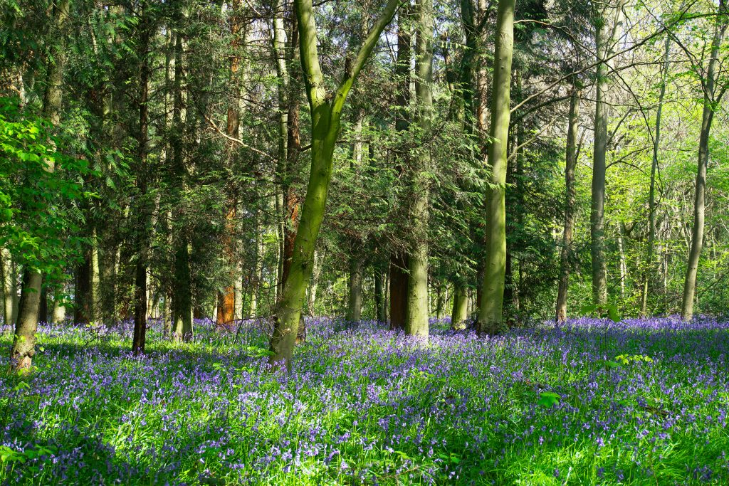 Woodland area with bluebells